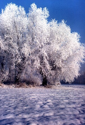 English: Snowed trees Polski: Ośnieżone drzewa...