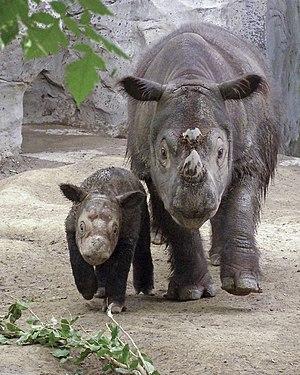 English: Two Sumatran Rhinos from Cincinnati Z...