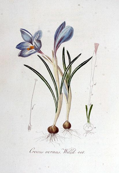 File:Crocus vernus — Flora Batava — Volume v6.jpg