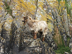English: Feral Goat on Island Davaar. At the t...