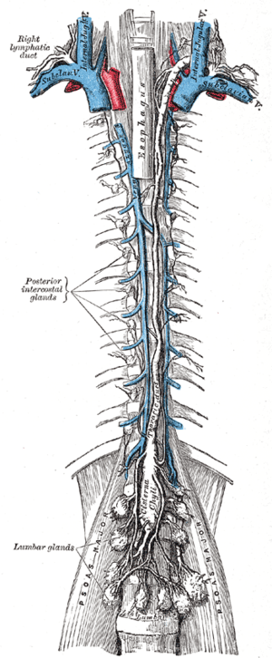 The thoracic and right lymphatic ducts.
