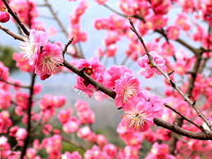 Plum blossoms in Nanjing, China.