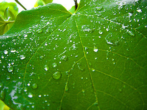 Rain on a grapevine leaf in a vineyard.
