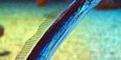 Trichiurus lepturus by OpenCage.jpg