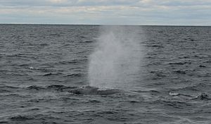 English: A whale off the shore of Cape Cod, Ma...
