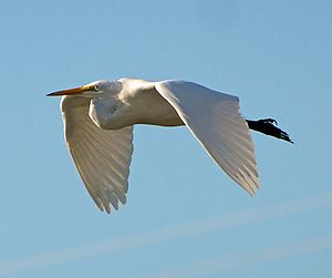 A Great Egret in flight at Palo Alto Baylands,...