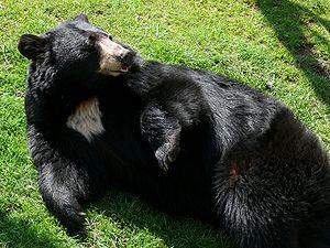 An American Black Bear (Ursus americanus) at t...