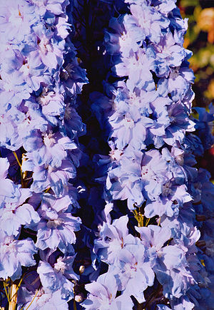 A modern hybrid Delphinium cultivar selected f...