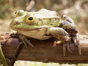Frog on bough