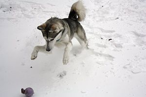 English: Siberian Husky playing in the snow an...