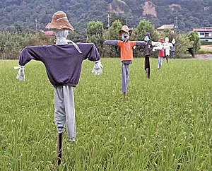 scarecrow in early autumn paddy field.