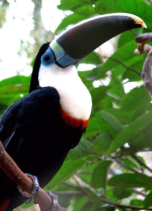 Ramphastos tucanus (intergrade) -Brazil-8a