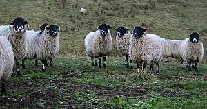 English: Sheep above Stotgap Gill (3) Still no...
