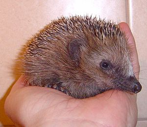 English: young small hedgehog being hold in ha...