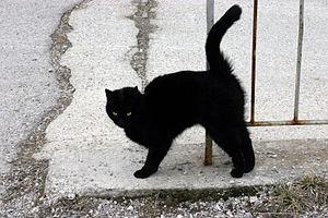 English: A Black cat Italiano: Un gatto nero D...