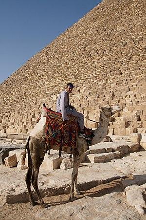 English: A bactrian camel (Camelus bactrianus)...