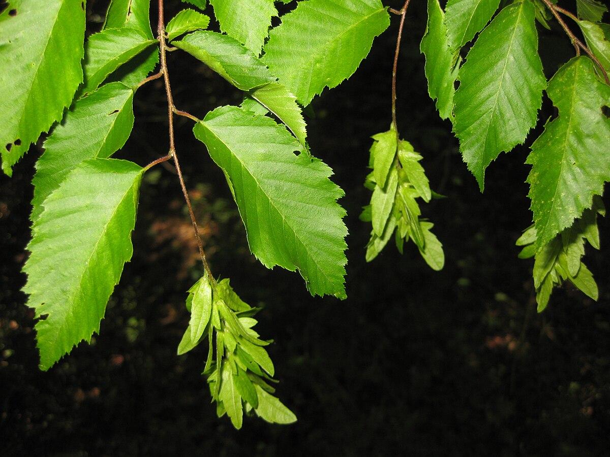 Carpinus Caroliniana Wikispecies
