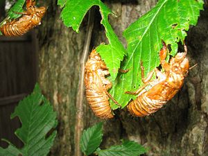 Molted Cicada Skins
