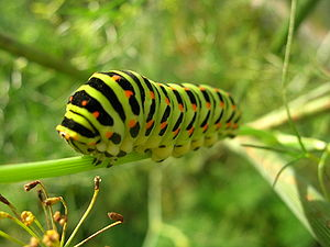 English: Papilio machaon caterpillar en face. ...