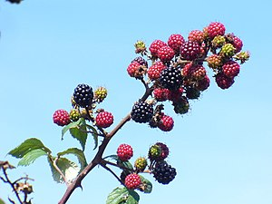 English: Berries at Papercourt Ripening brambl...