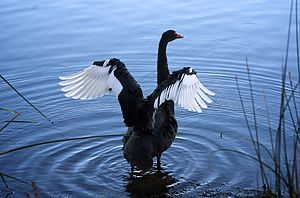 Black Swan, Lake Monger, 2010.