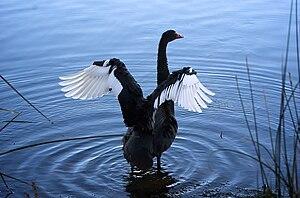 Black Swan, Lake Monger, 2010.