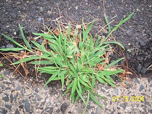 English: Crabgrass Source Richard Arthur Norto...