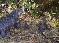 Sebuah sarang aligator di Everglades National Park, Florida, Amerika Serikat