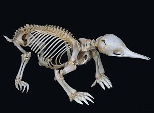 English: Short-beaked Echidna Skeleton Articul...