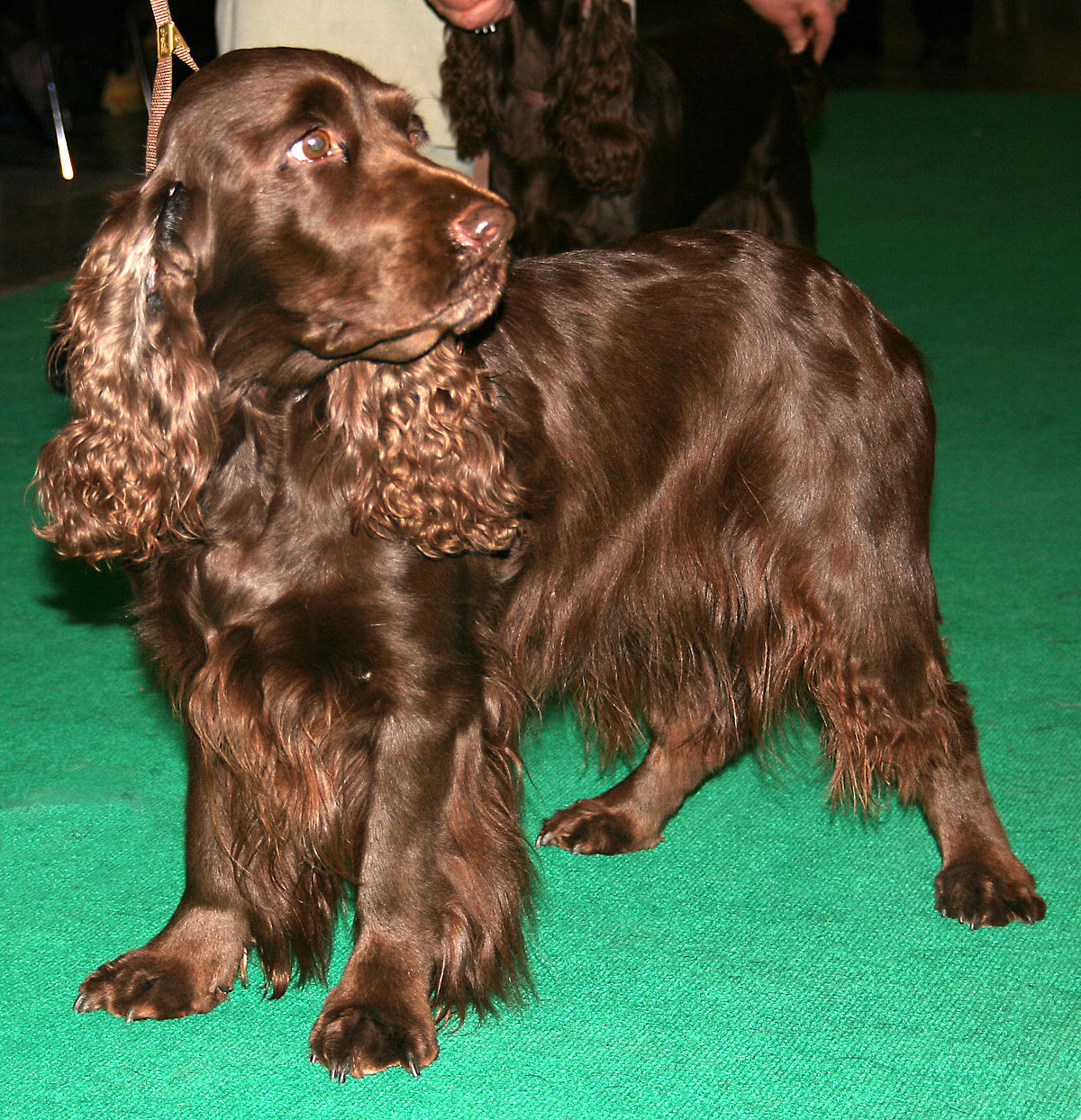 Top 10 Cheapest Dog Breeds: Field Spaniel