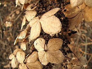 Hydrangea flowers, dead in winter, near Columb...