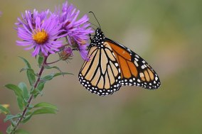 Image result for new england aster