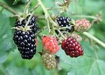 Blackberries in a range of ripeness, in West H...