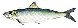 Europeisk sardin