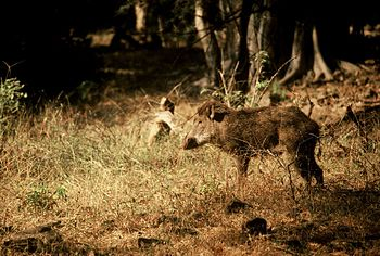 Wild boar at Ranthambore National Park, India