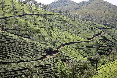 TeaPlantationPambanar 20080216-3