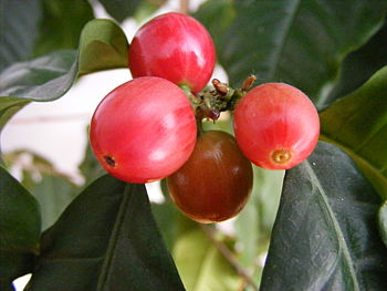 English: Coffee berries Polski: Owoce kawy