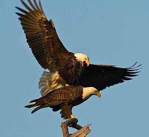 American Bald Eagle fall mating ritual