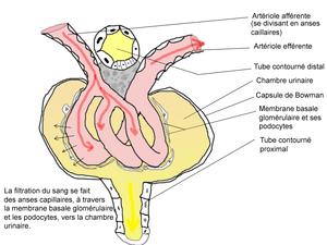 Histologie et physiologie glomérulaire, vue ps...