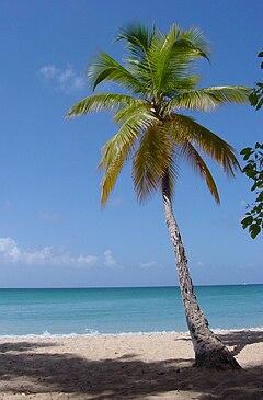 Kelapa Cocos nucifera