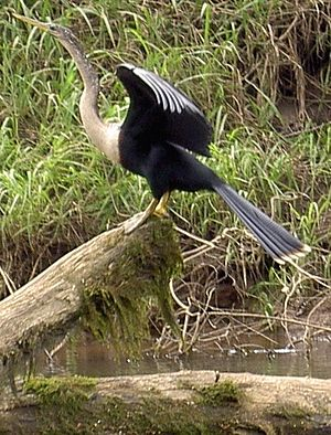 Anhingas spread their wings to dry them after ...