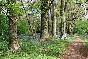 English: Bluebell woods Small wood just outsid...