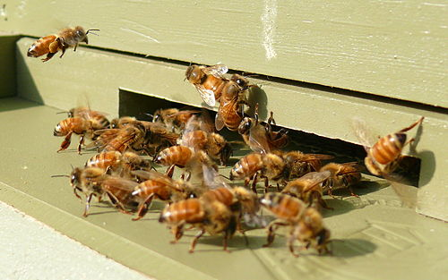 Italian honeybee workers and guards gathered at the entrance to their hive (click to embiggen)