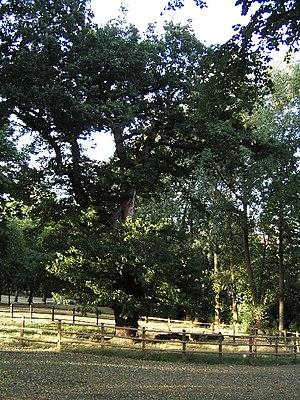 Old Oak , The Grove.