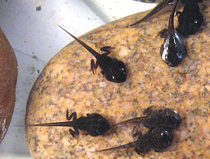 Spring Peeper tadpoles, about 4-5 weeks old an...