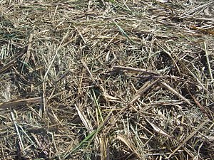 Bagasse, or residue of sugar cane, after sugar...
