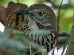 English: Brown Thrasher (Toxostoma rufum) at A...