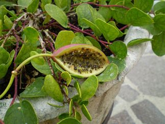 Capparis fruit