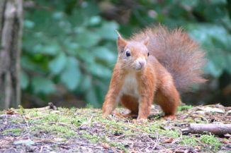 Formby squirrel
