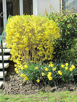 English: Forsythia and narcissus in the parc d...
